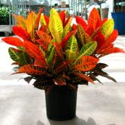Croton is a brightly colored, wide leaved plant grown for its red, orange, and yellow foliage. It likes bright light or even some direct sun and it likes to dry out between watering. Buy one today at gardengoodsdirect.com!