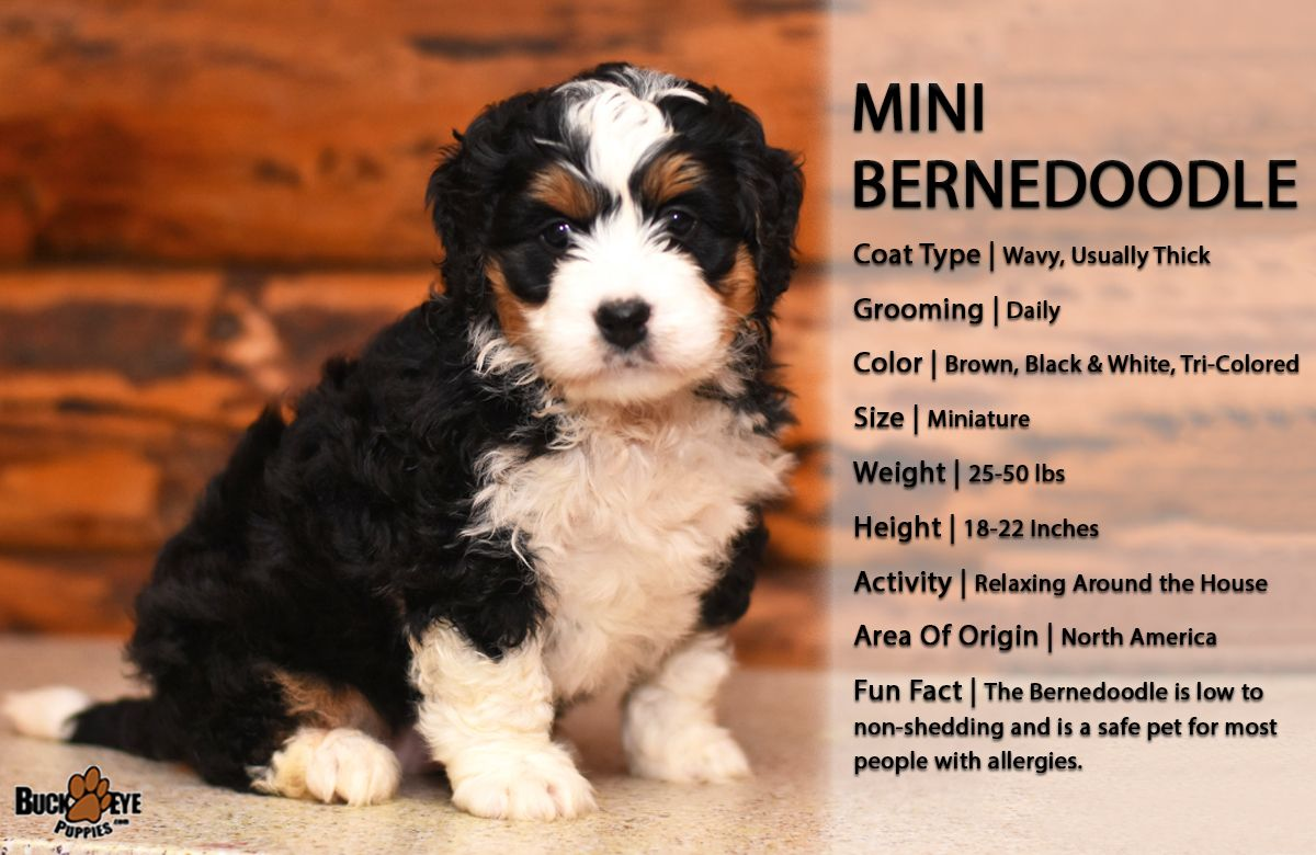 Pin By Buckeye Puppies On This N That In 2020 Bernedoodle Puppy Bernedoodle Mini Bernedoodle