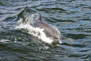 Dolphin Sightings While Cruising The Indian River With Good Natured River Tours