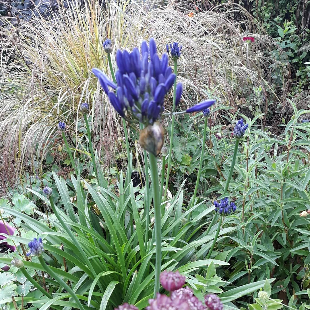 I Was Hoping My Agapanthus Would Be In Full Bloom Just Now For A Splash Of Colour But Its Not Quite Out Swipe Right To See It L Color Splash Agapanthus