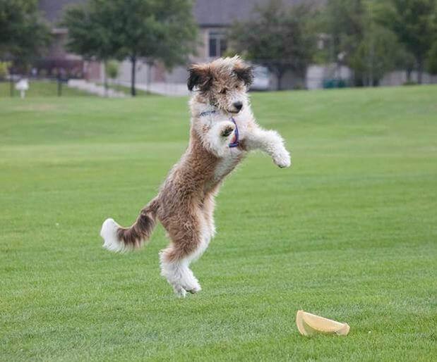 Borderdoodle Bordoodle Pet Breeds Smartest Dogs