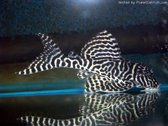 Http Board Fishchannel Com Uploads Images 1660c227 C570 4dc6 B143 4ad3 Jpg Freshwater Fish Aquarium Fish Tropical Fish Aquarium