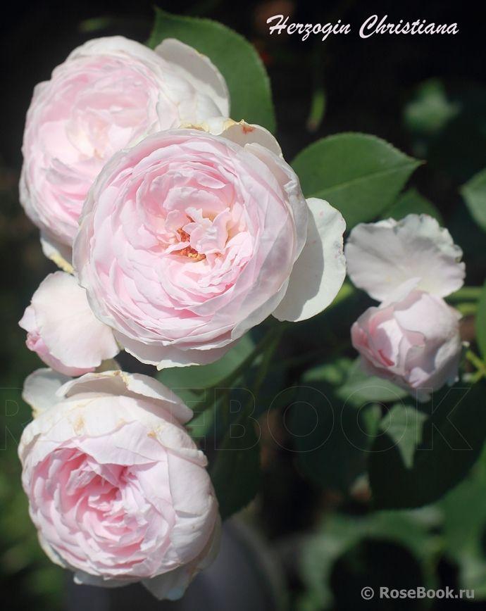 Herzogin Christiana ® | Rosen, Englische rosen, Bilder