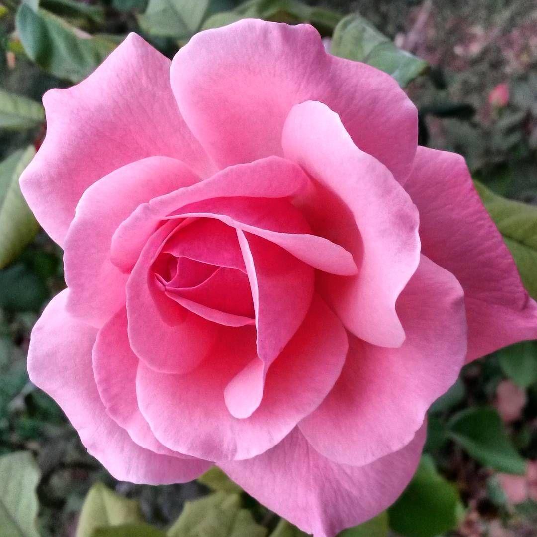 """Erol Flynn on Instagram """"ın my garden"""" Beautiful roses"""