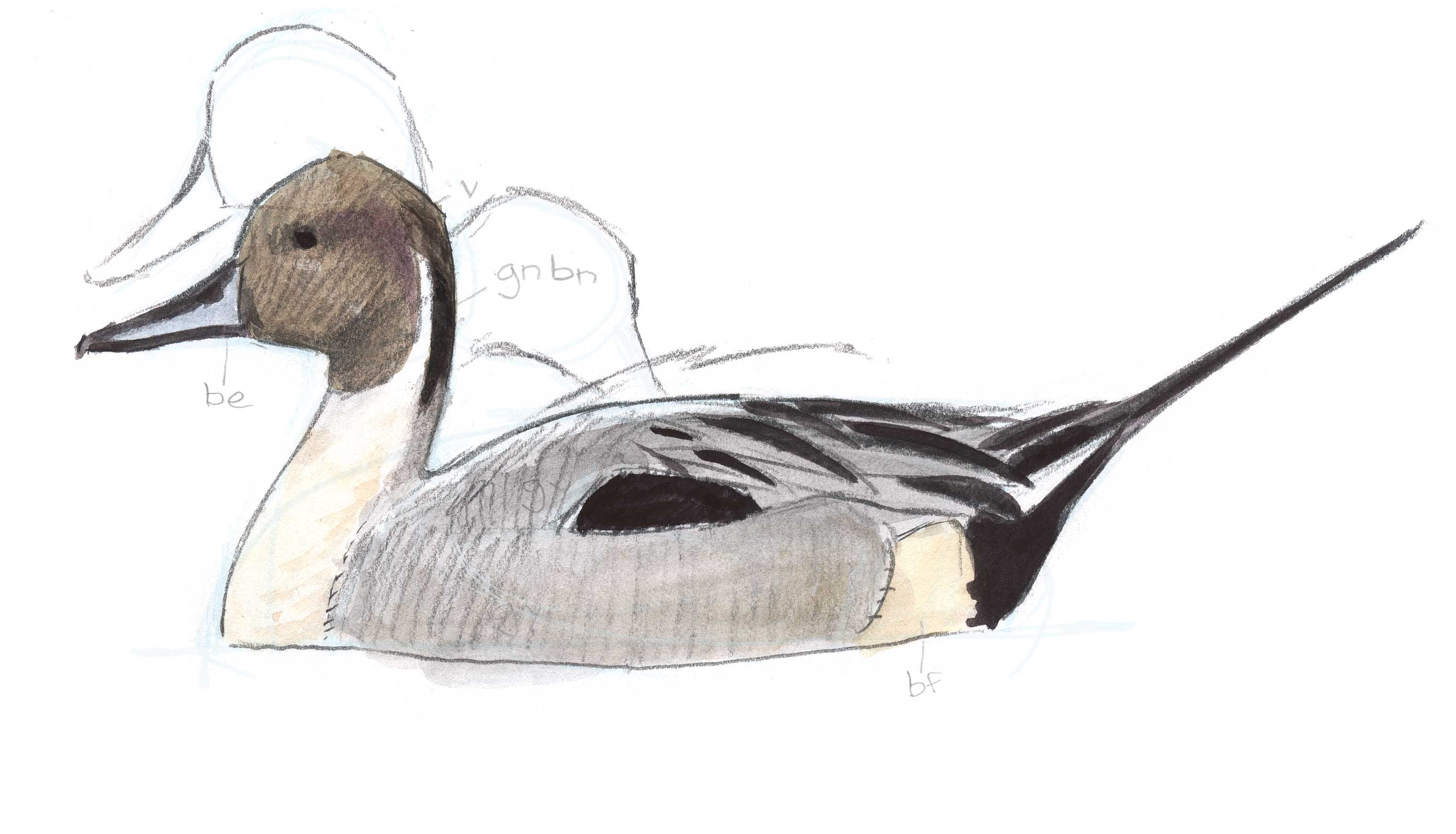 f0067bef4dd738af1b108c8c49ffd042 pintail profile 16 birds pinterest drawings, profile view and