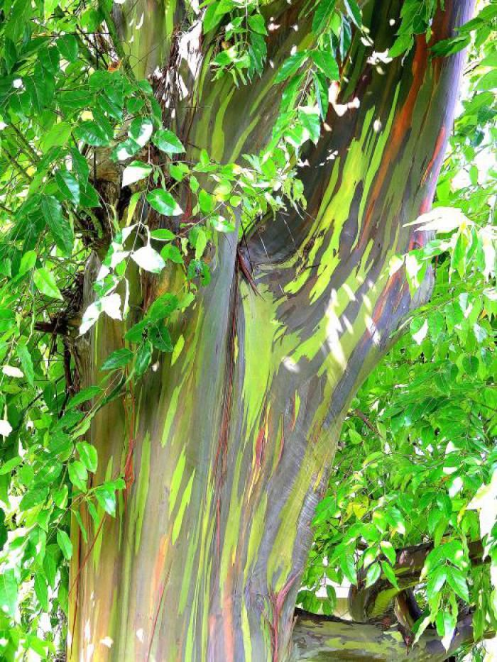 Rainbow Eucalyptus 15 Pictures Of The World S Most Colorful Tree Cube Breaker Rainbow Eucalyptus Rainbow Eucalyptus Tree Rainbow Tree