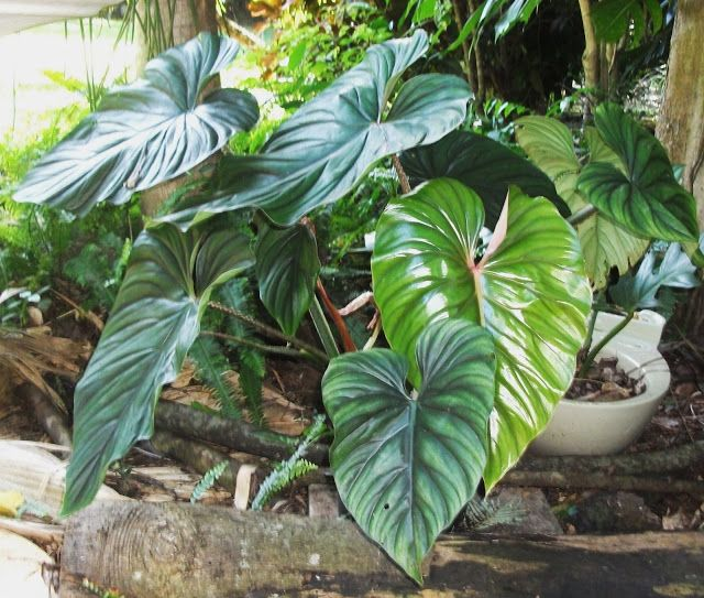 Frangipini Gardens Philodendron Plowmanii This Is A Creeping Plant Creeps Along The Ground And My Favourite Phil Plants Philodendron Easy To Grow Houseplants