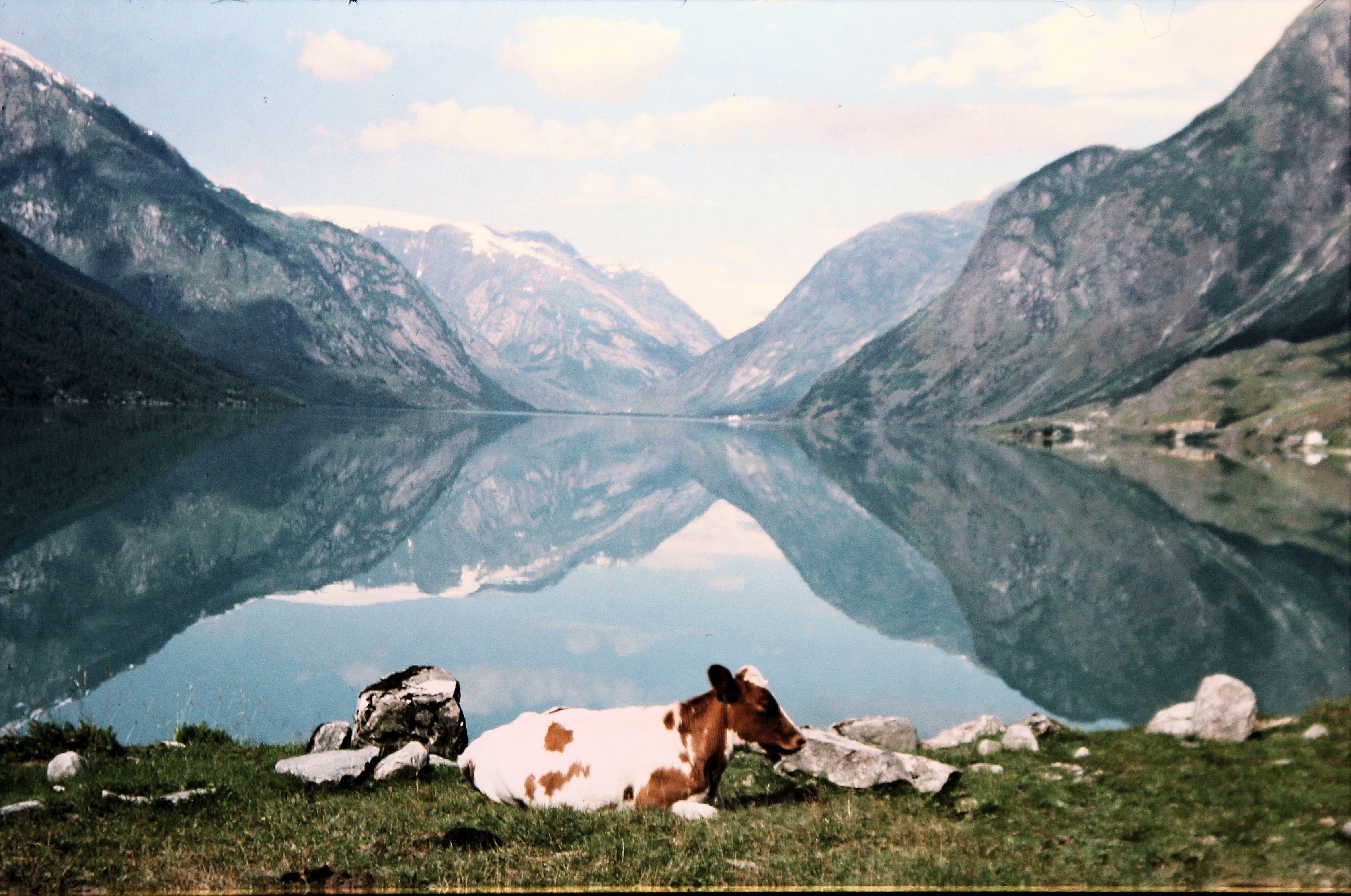 Norwegen Fjord Spiegellandschaft mit Kuh