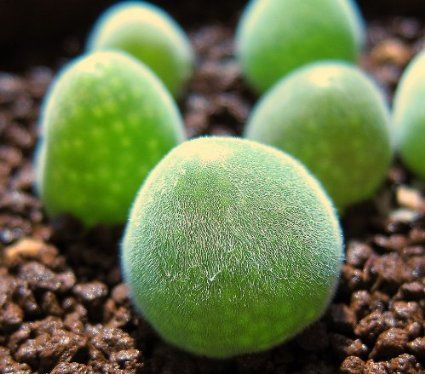 Pauling Garden Scl 135 3 Pieces Of Succulent Seeds Muiria Hortenseae Co