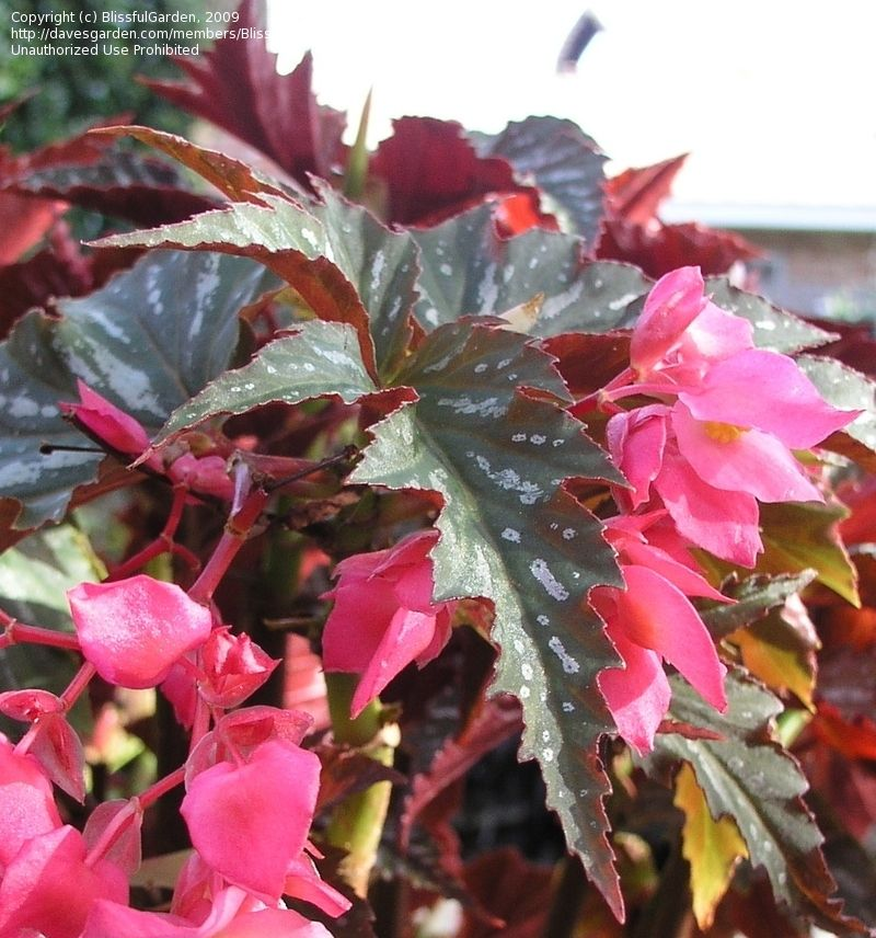 Angel wing begonia 'Lana' | Begonia | Pinterest | Angel ...