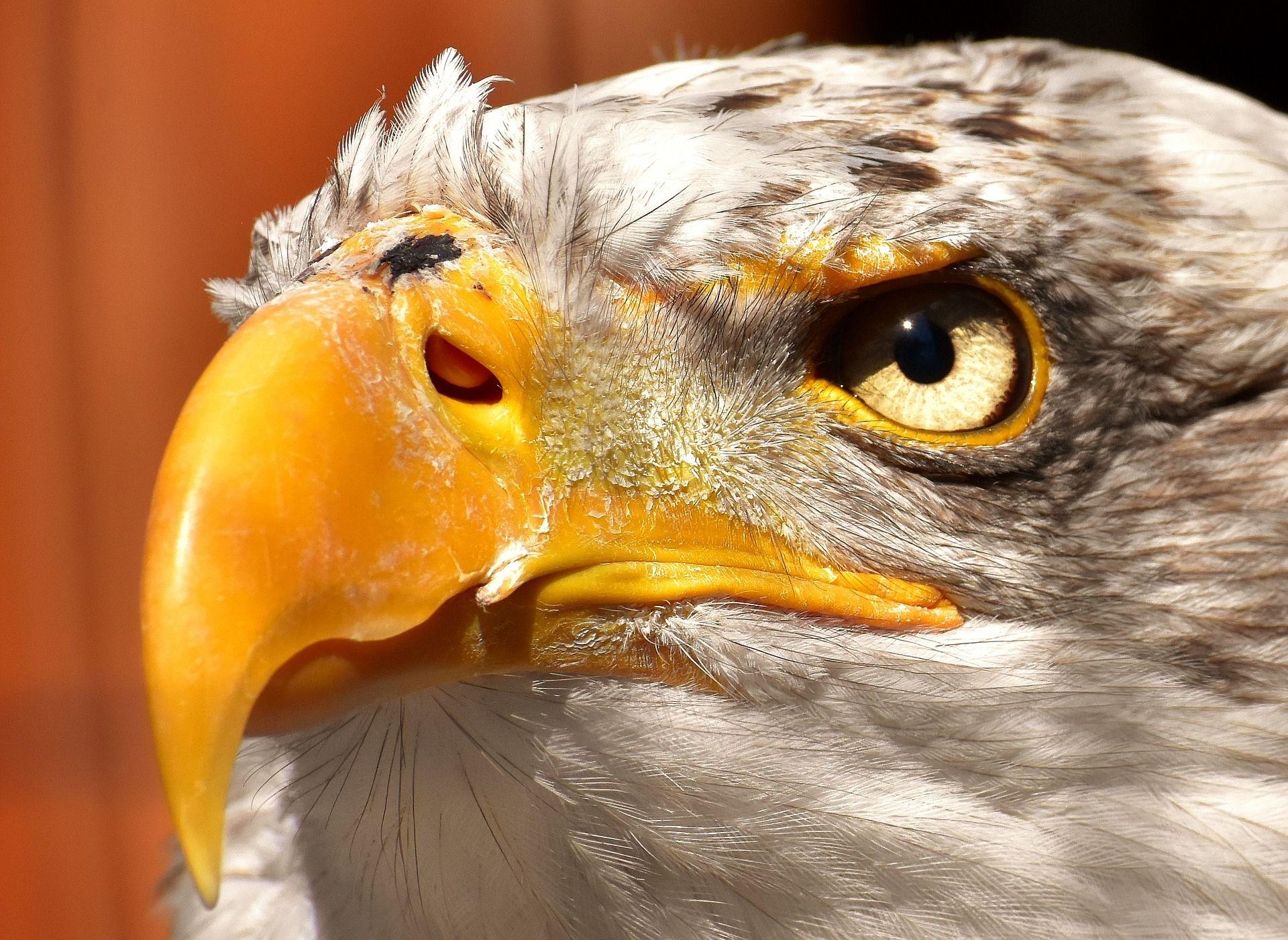 Eagle Eye Bald Eagle Eagle Giving Tuesday