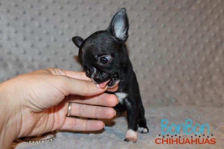 Chihuahua Puppies For Sale Chihuahua Chihuahua Puppies