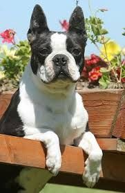 Pin By Brians Kennels On Dog Grooming Boston Boston Terrier Love