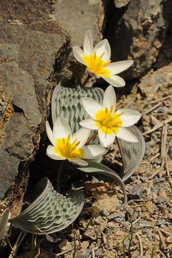 Tulipa regelii, es una especie de planta de lirio descritos por Andrei Krasnov Nikovaevich. Se incluye en género tulipanes y la familia de las liliáceas .... foto Vladimir Epiktetov