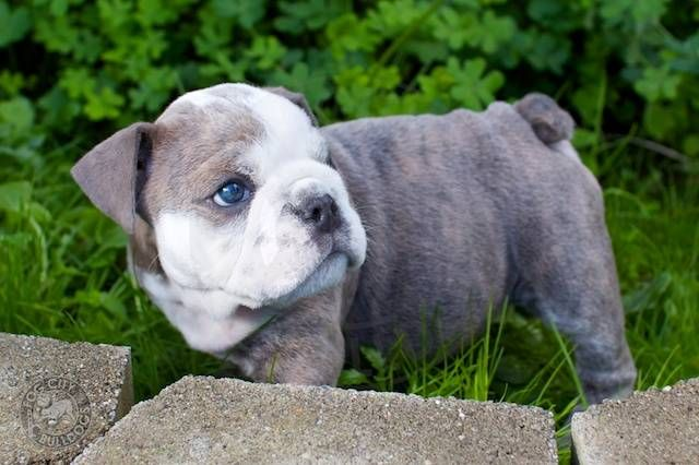 Soooooo Adorable Blue Eyed English Bulldog Pup Blue English