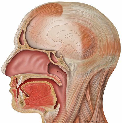 Anatomie des Kopfes (Illustration mit Nasen-, Mund- u. Rachenraum ...