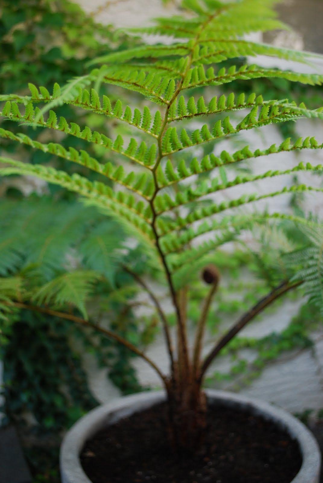 Australian tree fern cyathea cooperi brentwood need