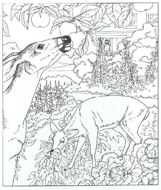 Animals Coloring Pages Whitetail Deer