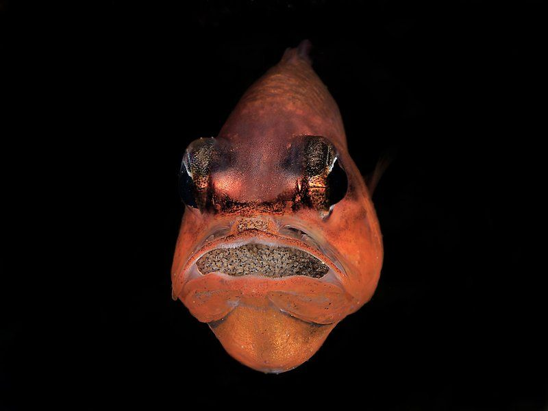 Edited photographer note: A male cardinal fish (Apogon imberbis) protects eggs inside its mouth.