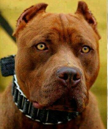 Pin By Zoran Frlog On Dogs Red Nose Dog American Pitbull Terrier Pitbull Terrier