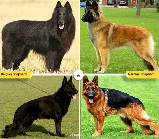 11 Dog Breeds Like The German Shepherd Shepherd Puppies German