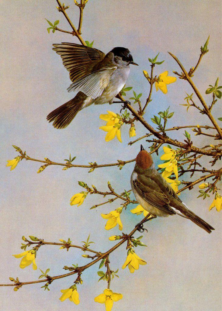 Basil Ede B 1931 730 1024 Vintage Birds Bird Prints Wildlife Artists