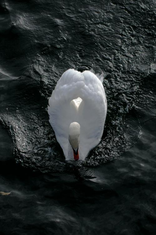 tulipnight:  Swan byPeter Orlický