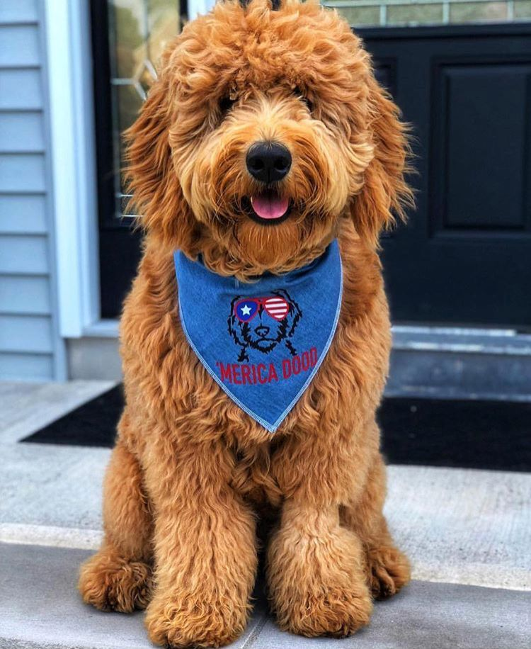 Pin By Ha Ri On Labradoodle Goldendoodle Labradoodle Mini Goldendoodle