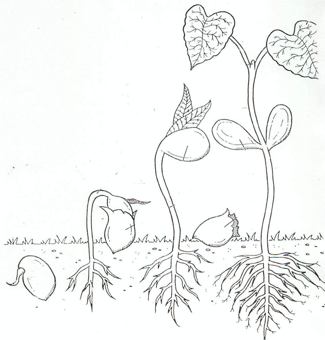 Life Cycle Coloring Page Of A Seed To Plant A