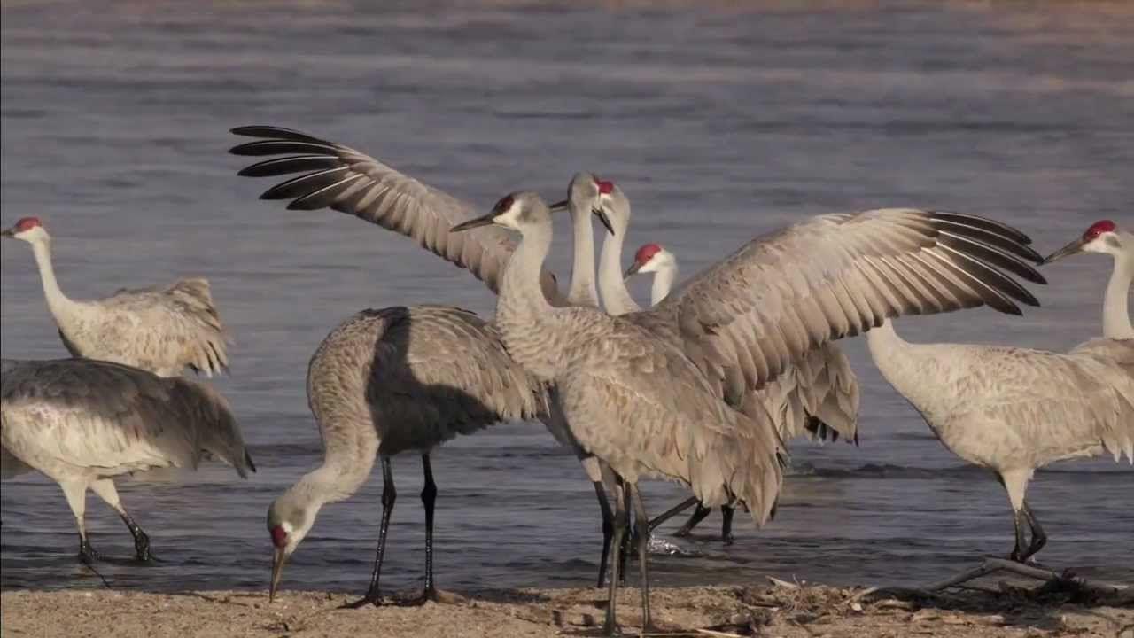 Nebraska's Great Sandhill Crane Migration Nebraska