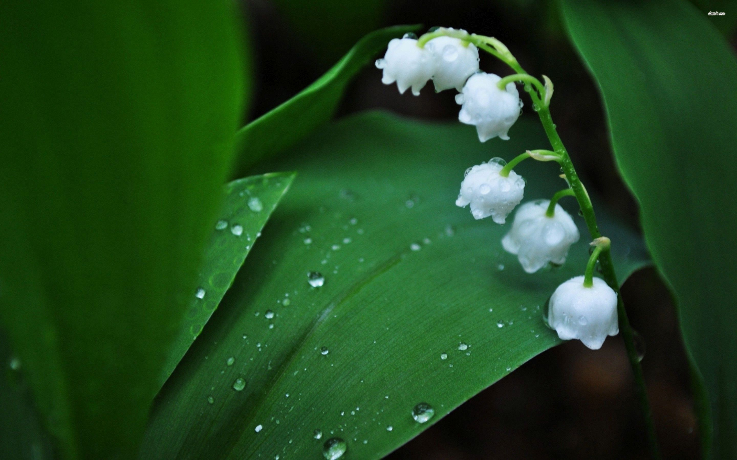 Lily Of The Valley Wallpapers With Images Lily Of The Valley