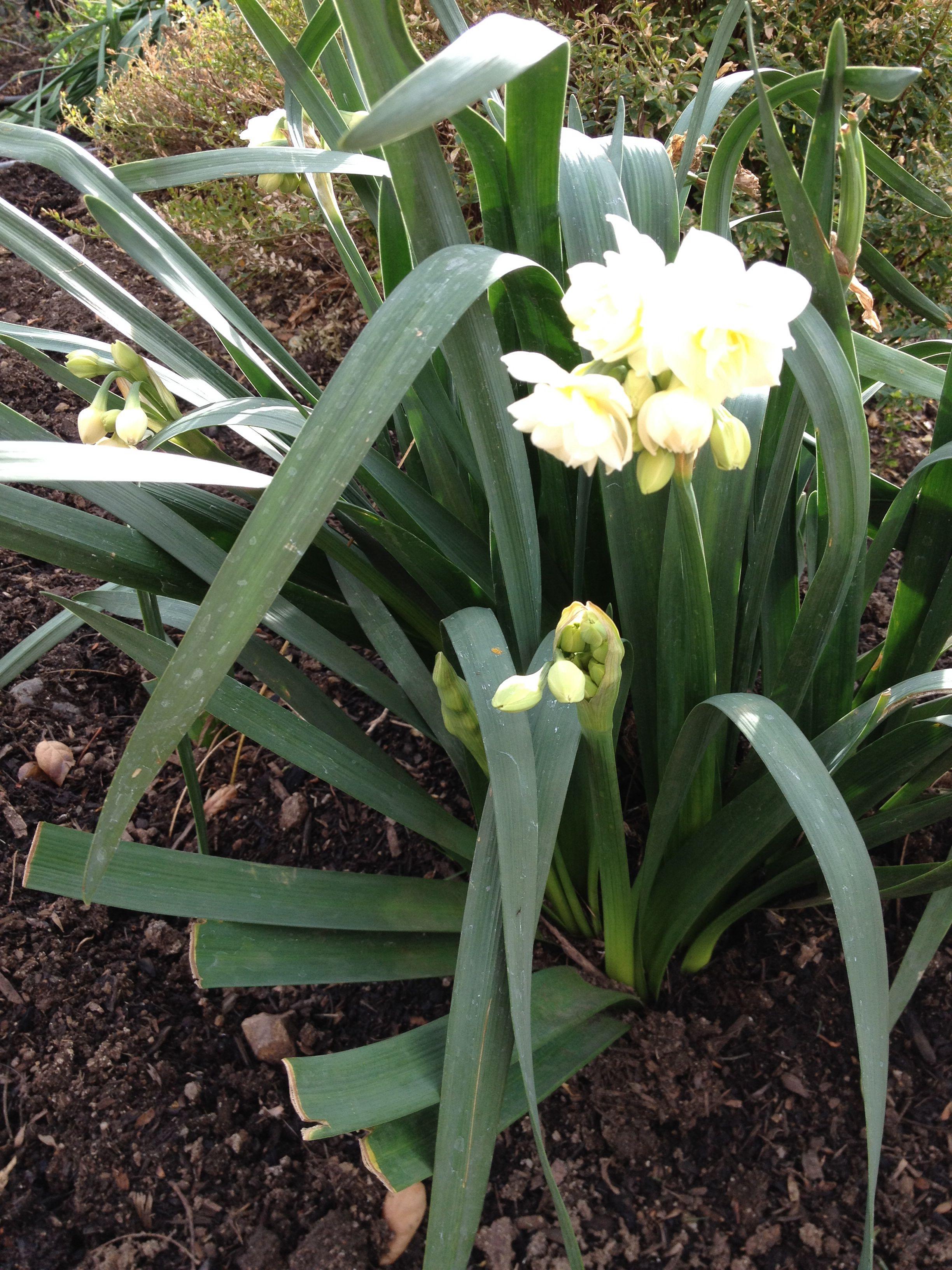 January: ruffled narcissus