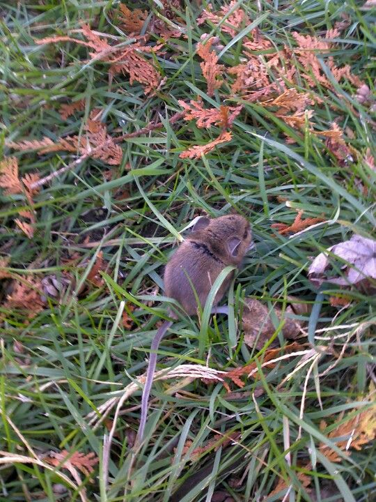 A mouse in my yard!!!!