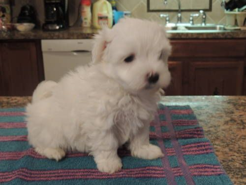Ckc Maltese Puppies Cute Tiny Dogs Maltese Puppy Puppies