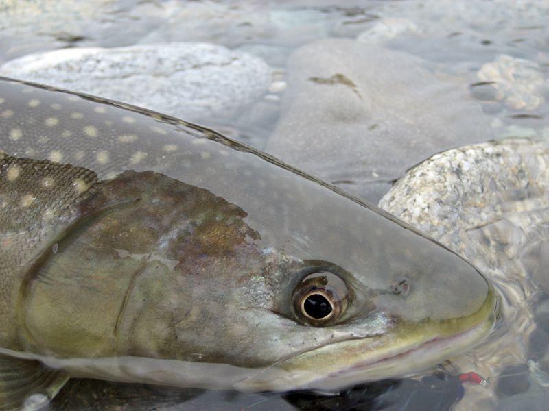 Bull trout copy