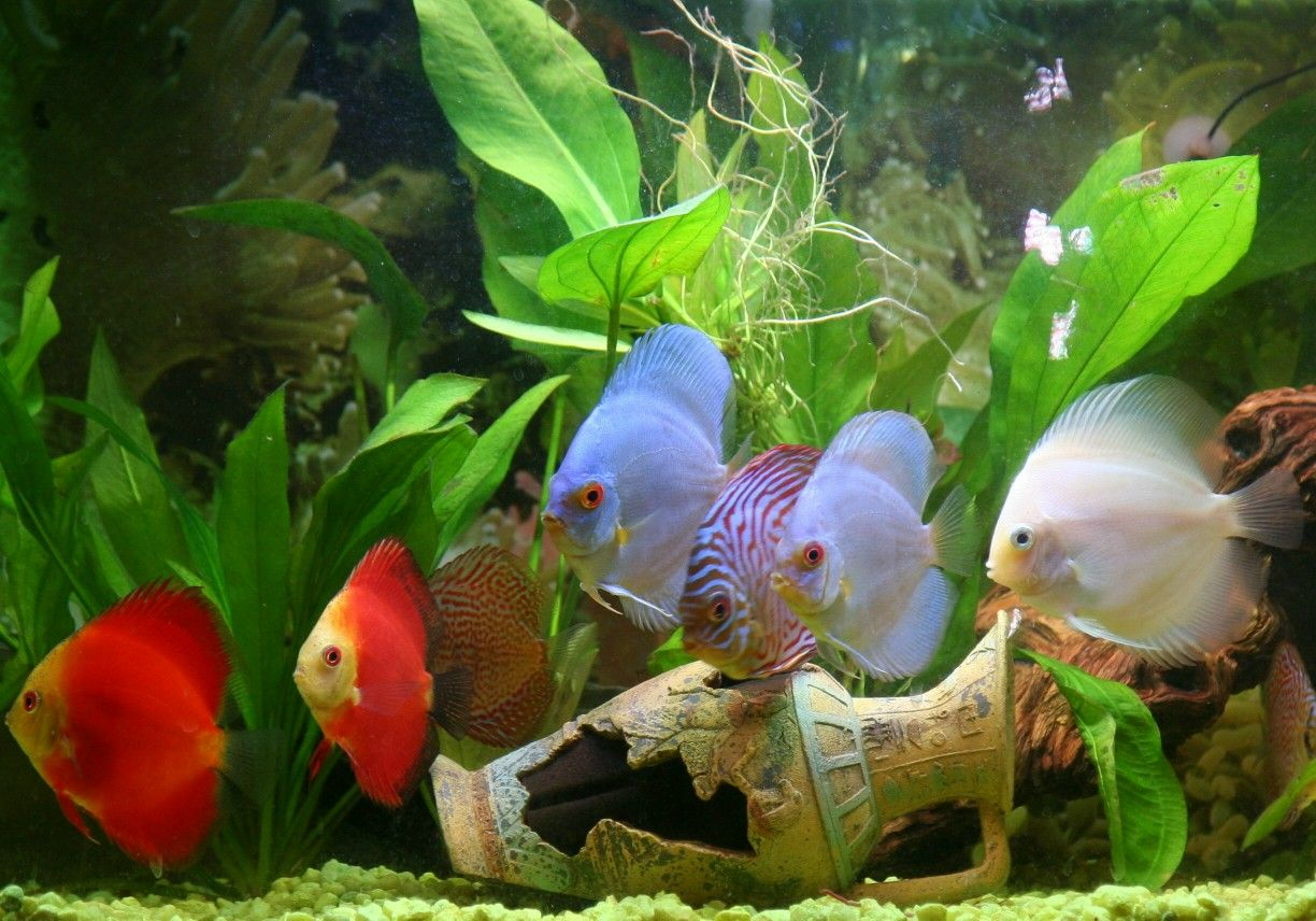 Assorted Discus Fish 2 3 Inch Discus Fish Discus Fish For Sale Tropical Freshwater Fish