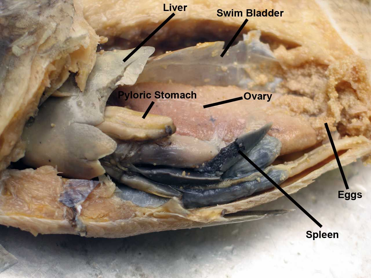 Fish Dissection Name