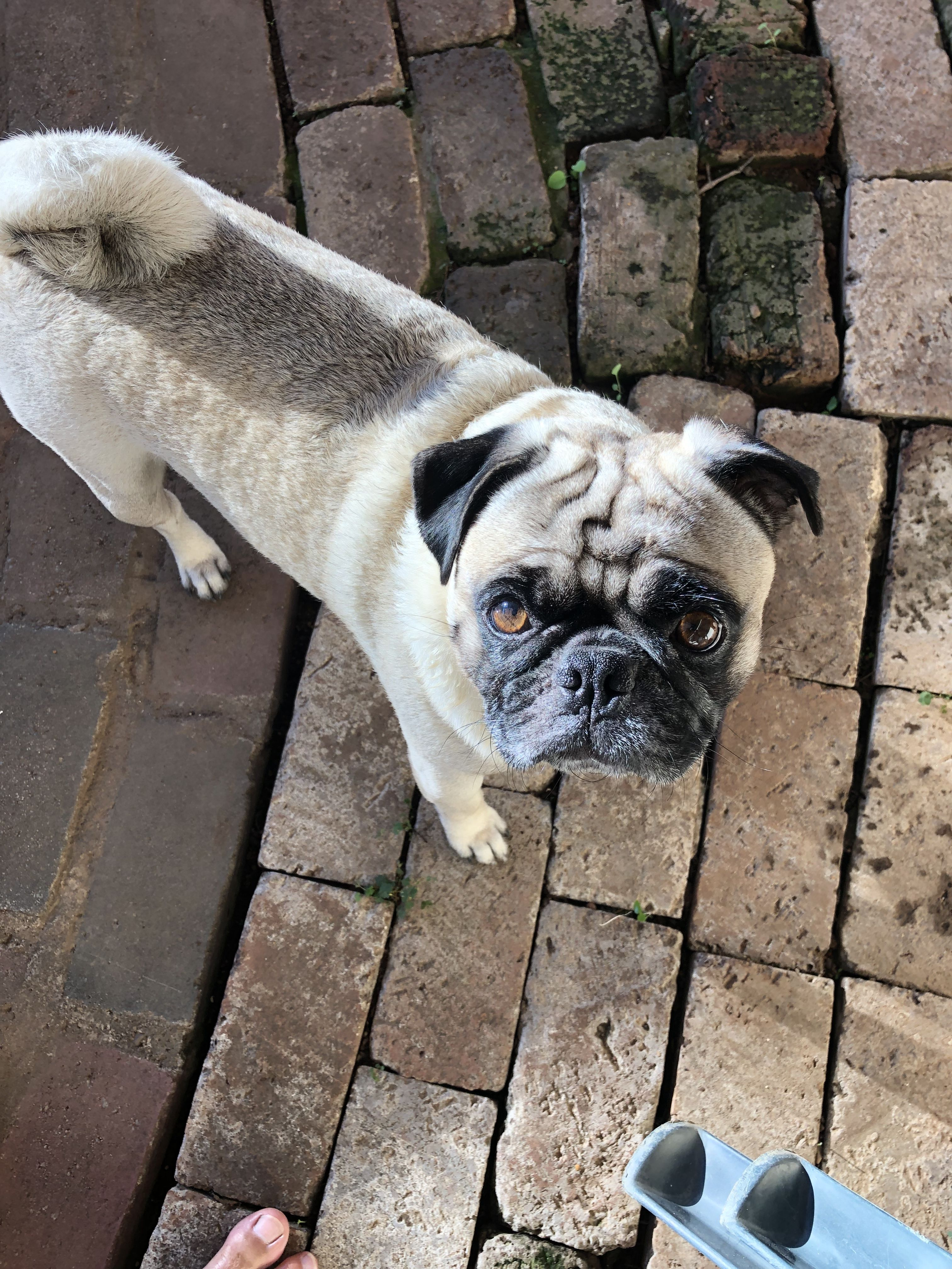 Pin By Paul On Pug Pugs Canine Dogs