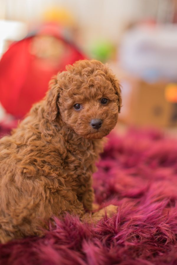 The cavoodle or cavapoo is a dog breed or mix that is