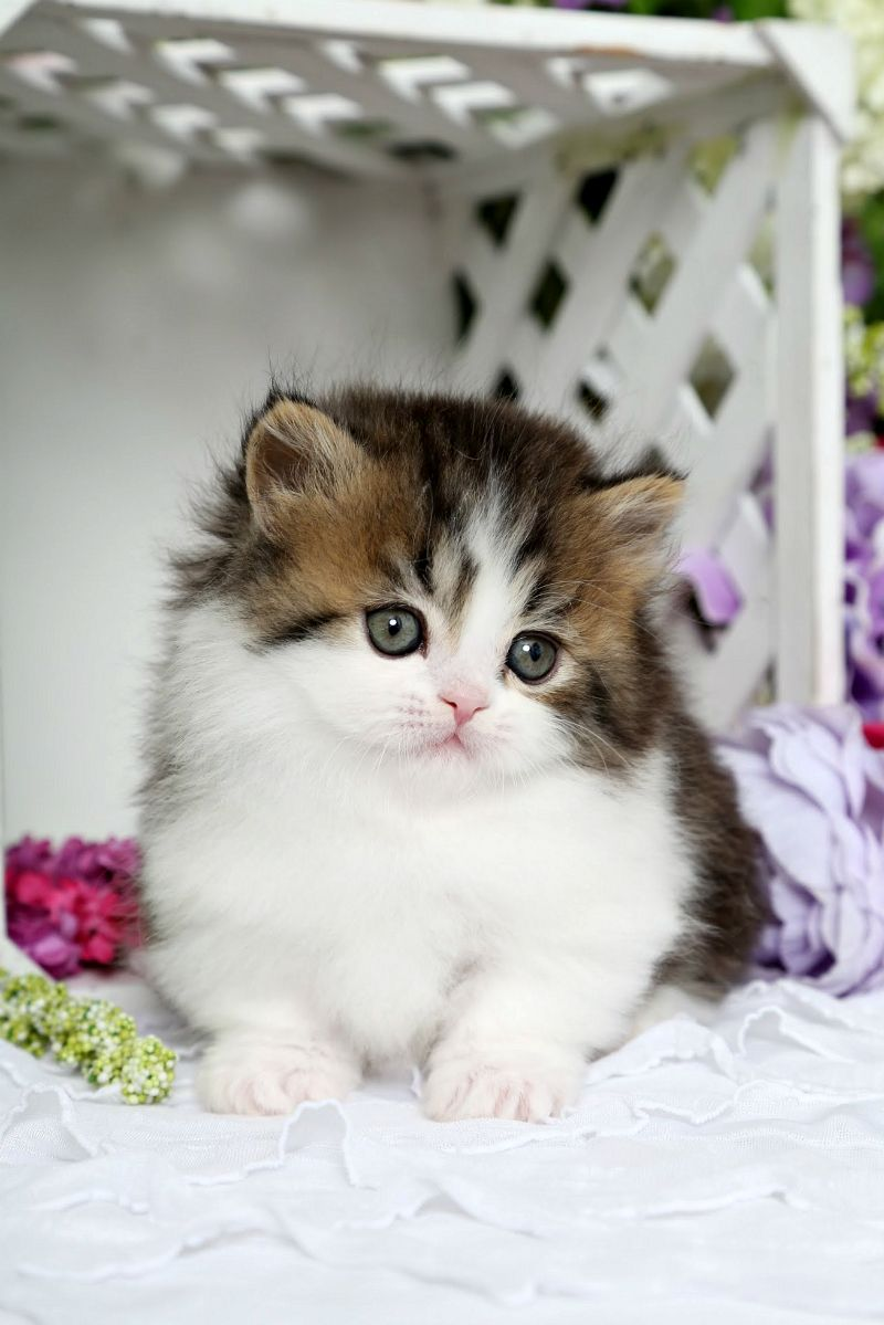 Beach Baby Shaded Golden Tabby White Rug Hugger Kitten Cute Cats Cute Baby Cats Kittens Cutest
