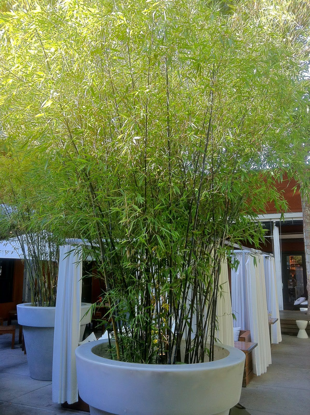 A Very Large Pot Of Phylostachys Nigra Black Bamboo