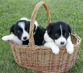 Puppies Going Shopping So Cute Border Collie Puppies Collie Puppies Collie