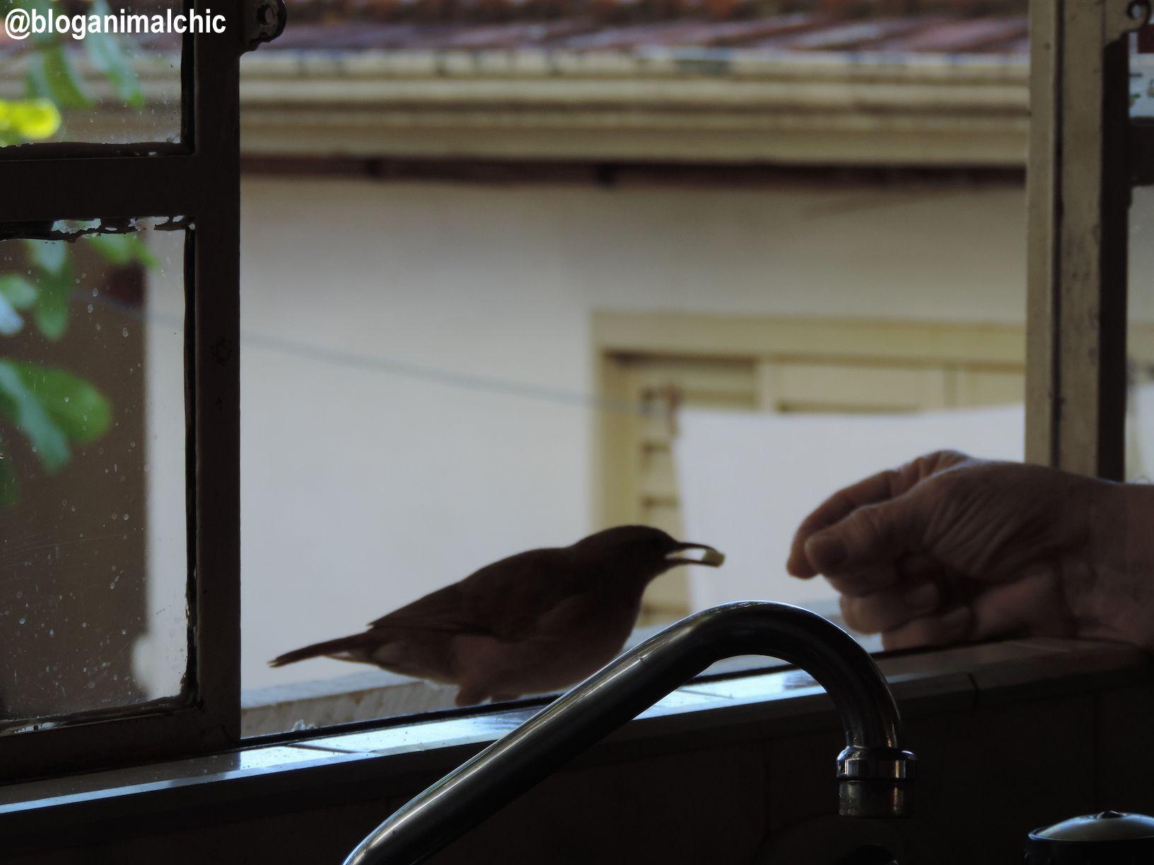 Na janela, minha mãe dá comida para o João-de-barro (Furnarius rufus) na boca! Veja o vídeo aqui: https://www.youtube.com/watch?v=buEJJMeiOE8