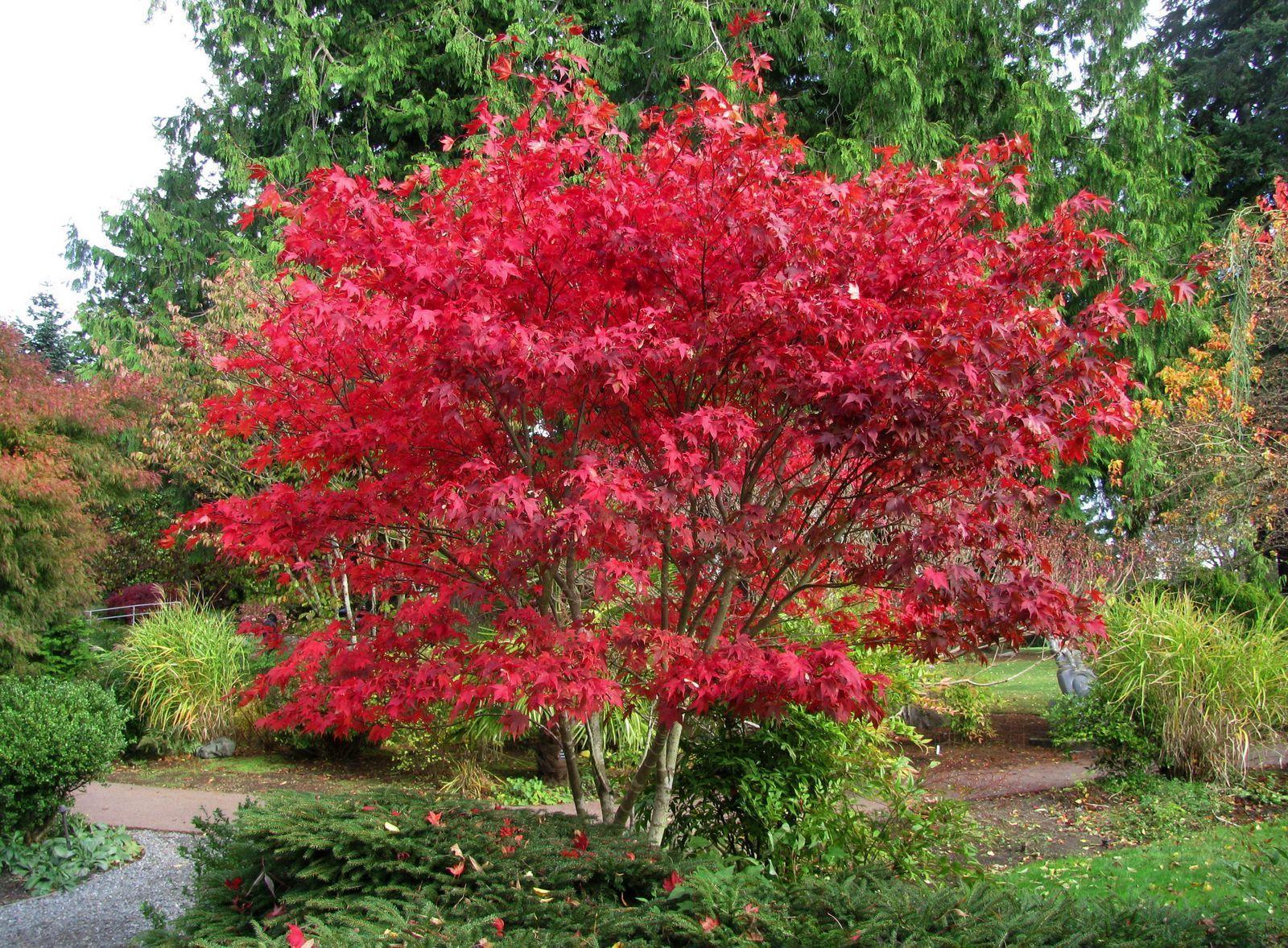 How to care for a fern leaf japanese maple - Boskoop Glory Japanese Maple Sun Tolerant Deer Resistant