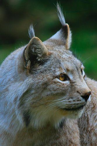 Lince / Lynx