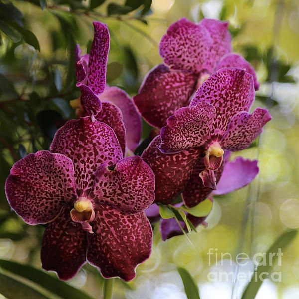 Purple Orchids With Bokeh By Carol Groenen Purple Orchids Orchids Orchid Photo