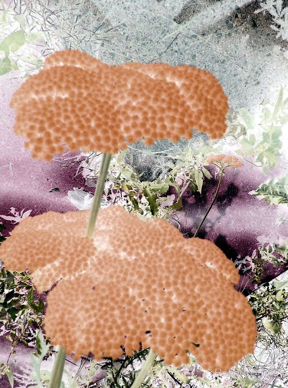 Peach Yarrow-Available As Art Prints-Mugs,Cases,Duvets,T Shirts,Stickers,etc,