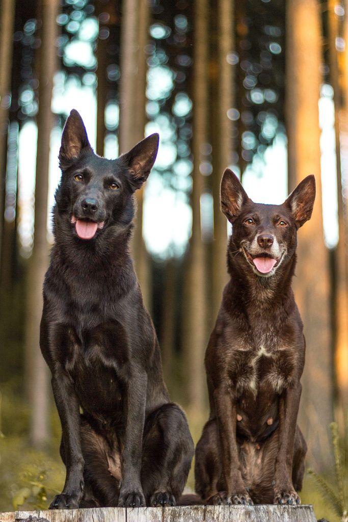 Handsomedogs Roman Franek Img 5153 Australian Dog Breeds Australian Kelpie Dog Breeds