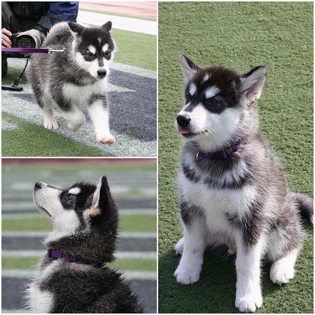 Seattle Pomsky Review Washington Pomsky Breeder Husky Puppy