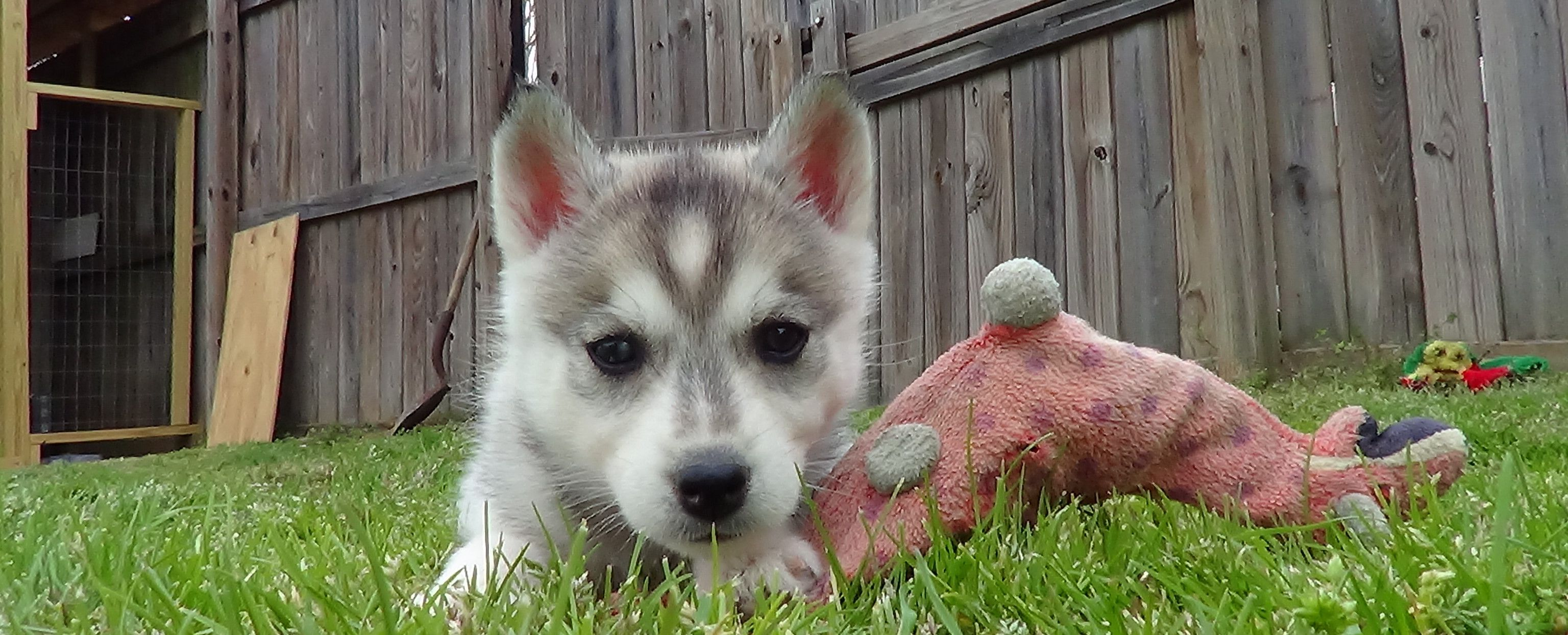 Husky Puppy Playing With Dino Toy Husky Puppies For Sale Cute